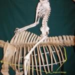 Pelvis human on horse 285x300